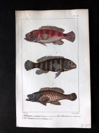 Lacepede & Oudart C1830 Hand Col Fish Print. Squirrelfishes 94